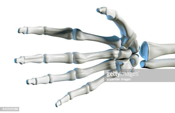 human hand and wrist bones