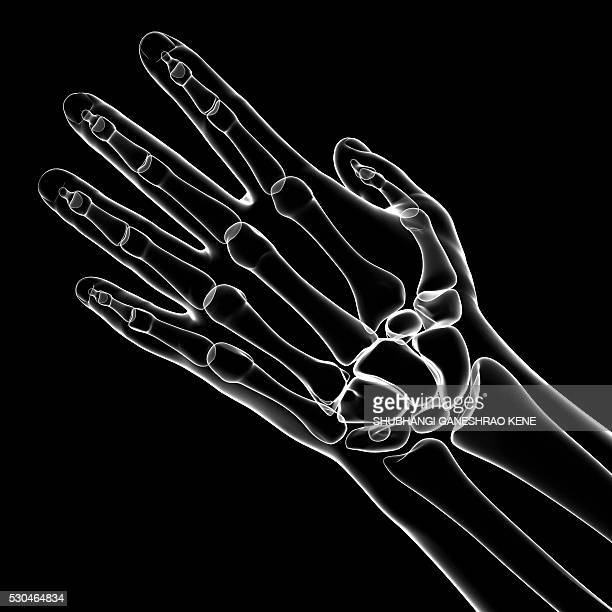 Hand Bone Stock Photos And Pictures Getty Images