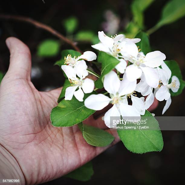 Human Hand Holding Apple Blossoms