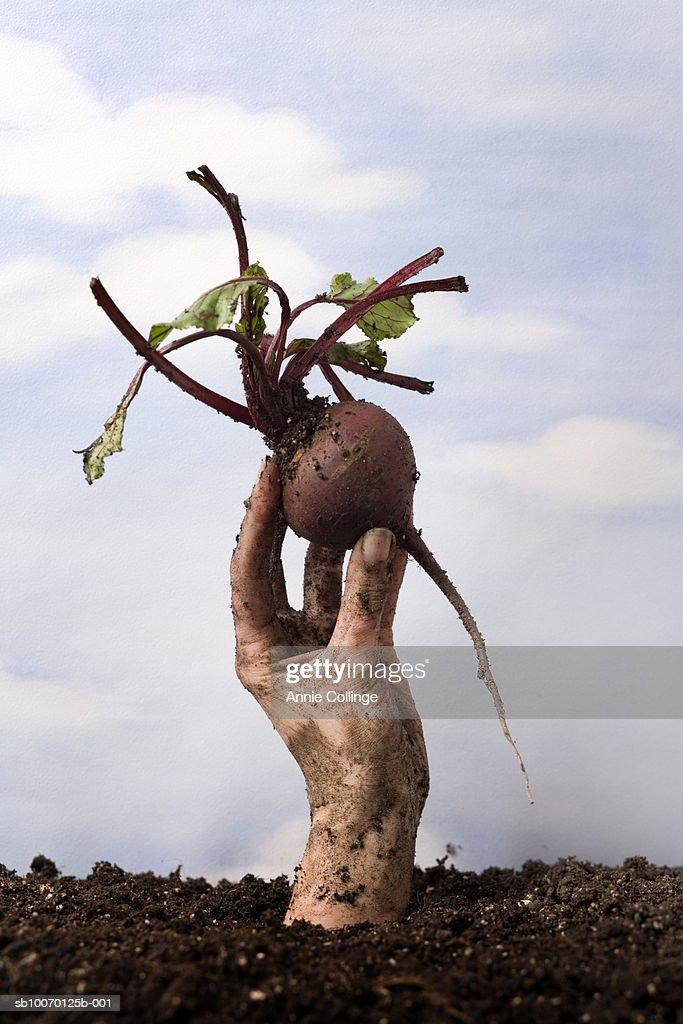 Human hand holding beetroot : Stock Photo