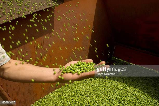 Human hand holding harvested beans