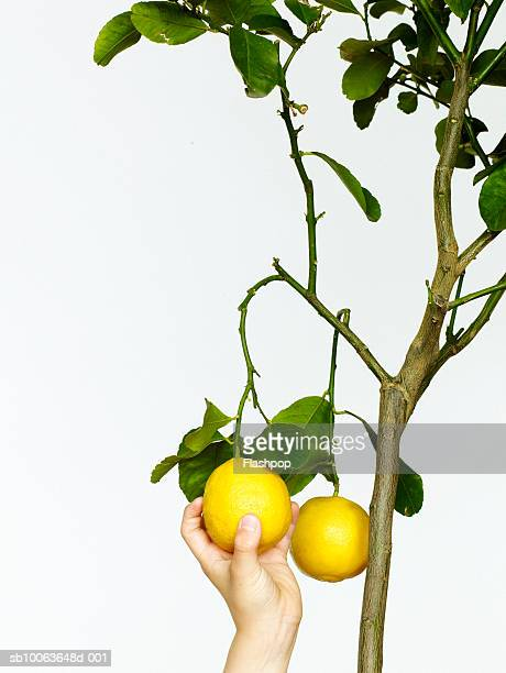 human hand picking lemons from tree, close-up - limb body part stock photos and pictures