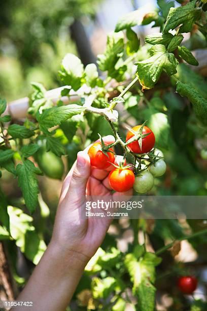 Human hand picking tomato