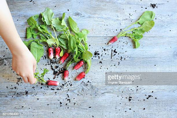 Human hand picking up a radish