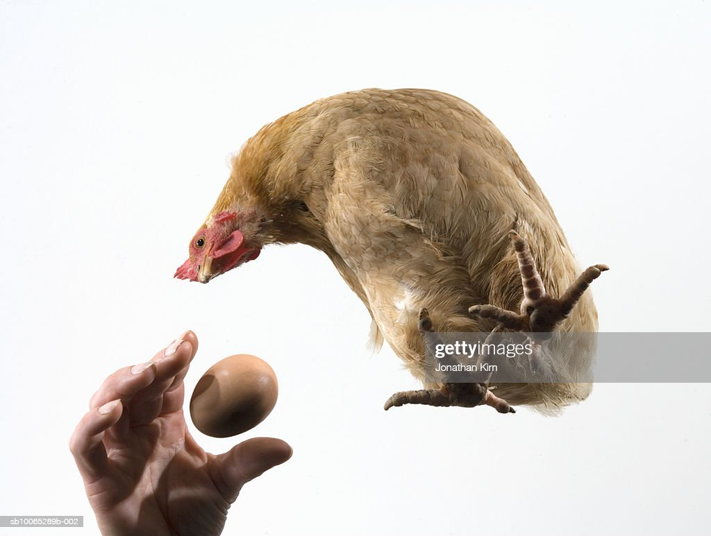 Human hand reaching for egg while hen watches : Foto stock