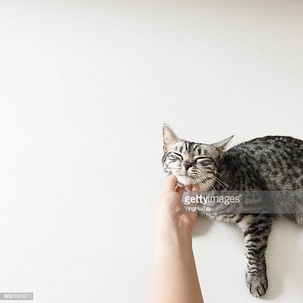 Human hand scratching chin of american shorthair cat