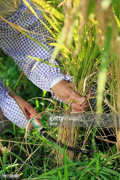 Human Hands Harvesting Rice