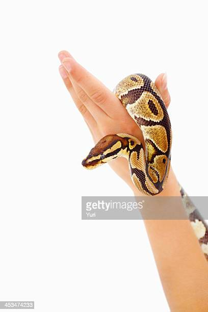 Human hands holding python against white background