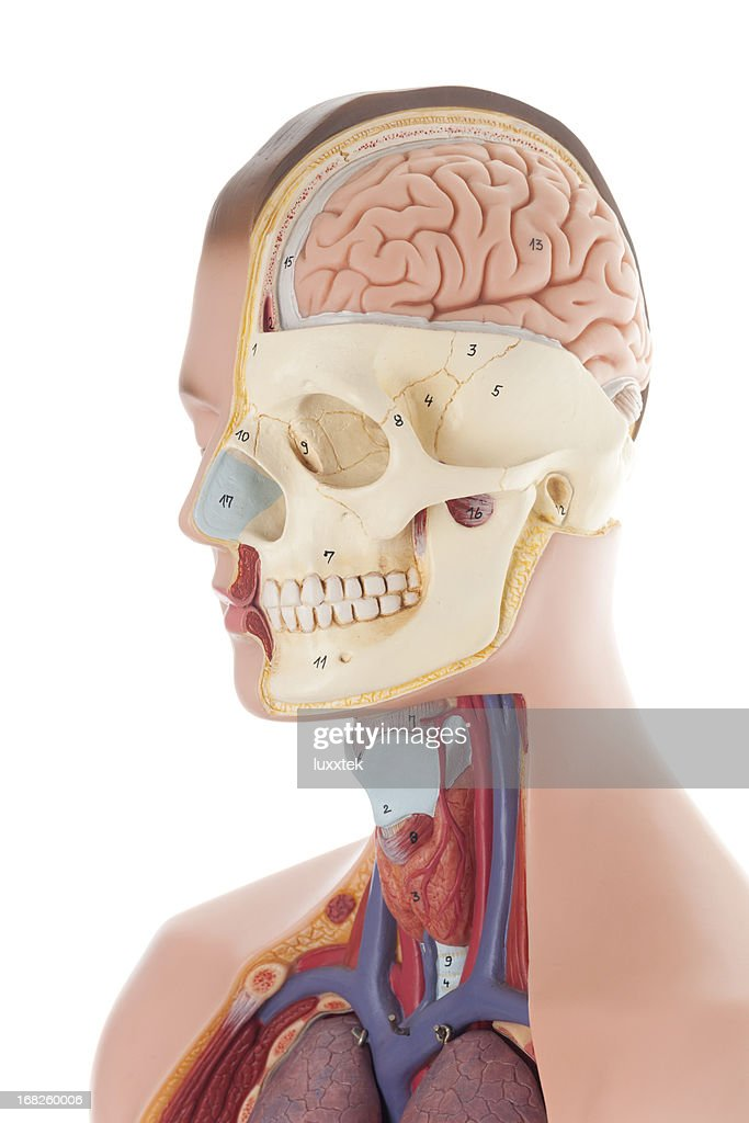 Human Head Anatomical Model Stock Photo Getty Images