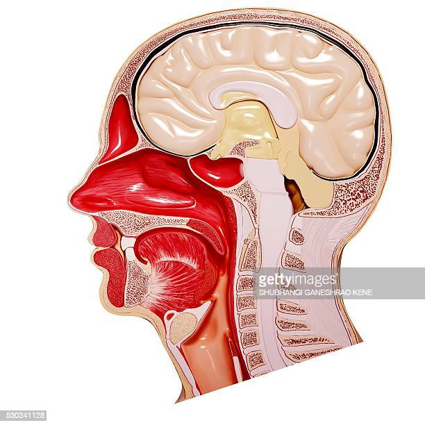 human head anatomy, computer artwork. - anatomy stock photos and pictures