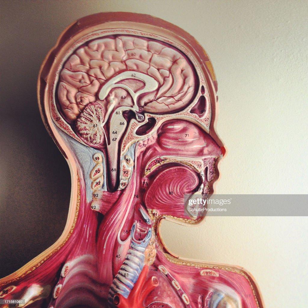 Menschlicher Kopf Anatomiemodell Stock-Foto | Getty Images