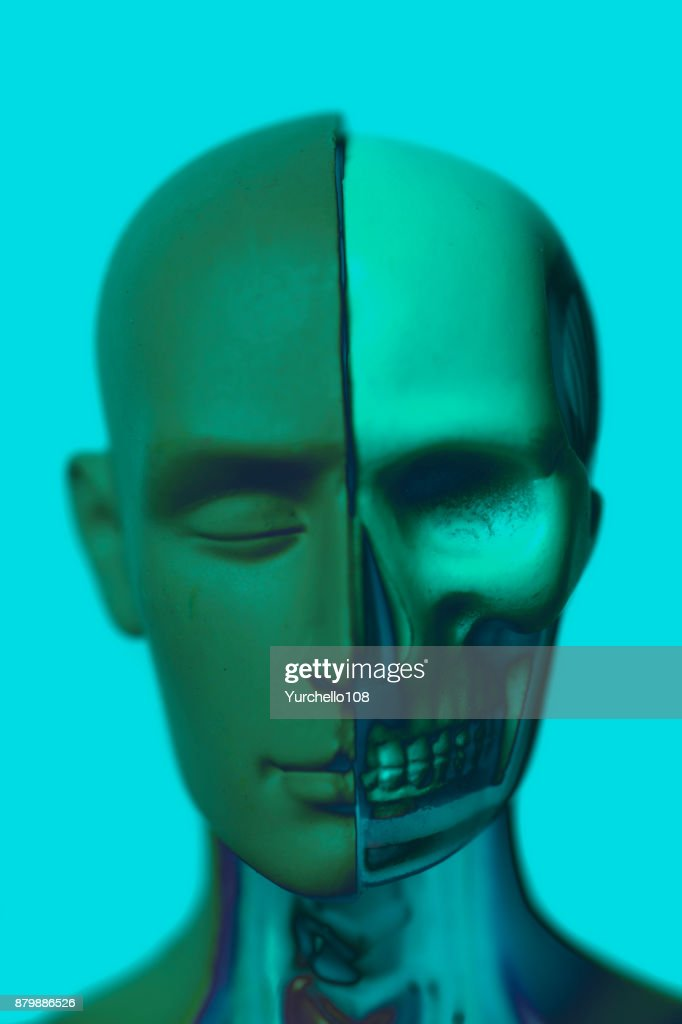 Human Head Anatomy Model Stock Photo Getty Images