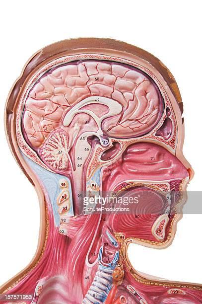 Cabeça humana com a anatomia Auxiliar Visual