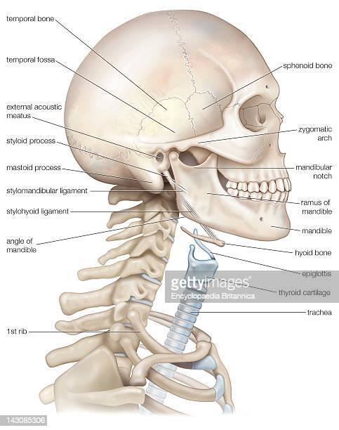 Human Head And Neck The Bony Framework Of The Human Head And Neck