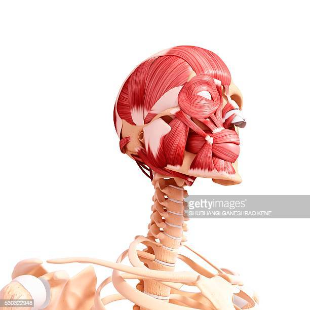 human head musculature, computer artwork. - clavicle stock photos and pictures