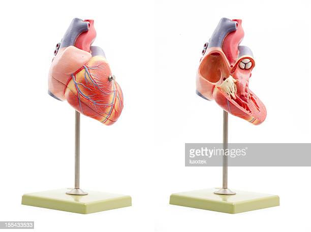 Human heart anatomical model