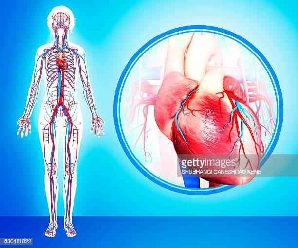 Human heart anatomy, computer artwork.
