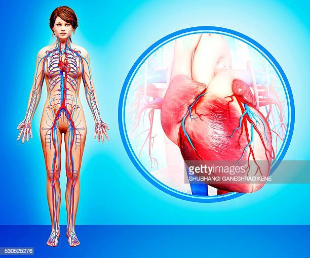 Human heart anatomy, computer artwork.