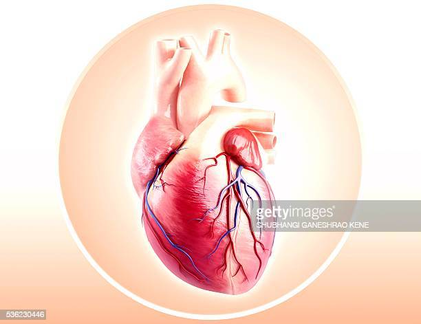 human heart anatomy, computer artwork. - human heart stock pictures, royalty-free photos & images