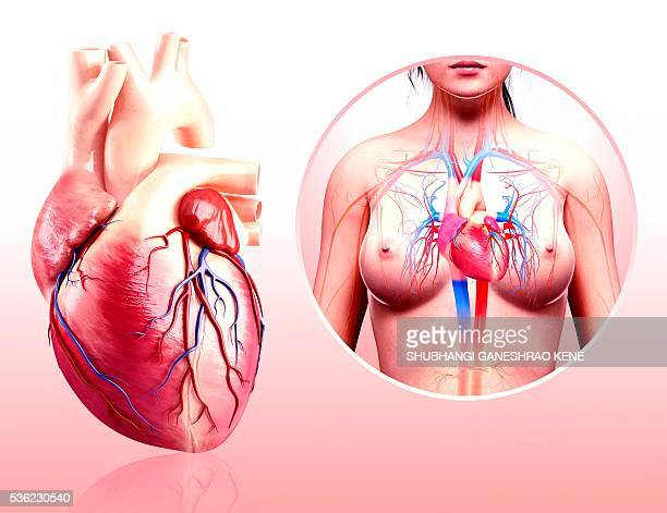 human heart anatomy, computer artwork. - female anatomy stock photos and pictures