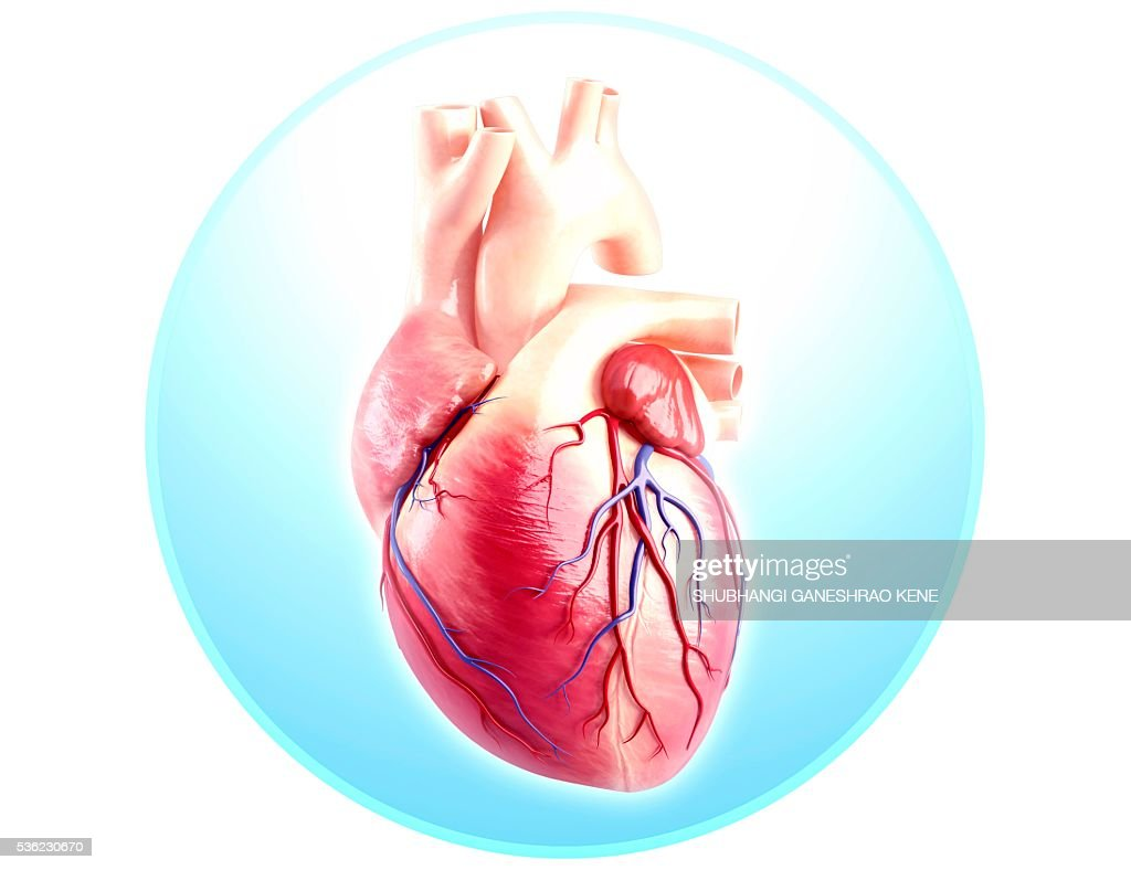 Human Heart Anatomy Computer Artwork Stock Foto Getty Images