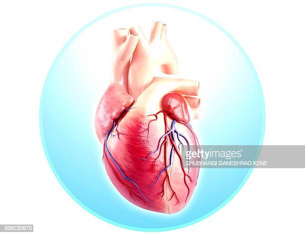 Human Heart Stock Photos And Pictures Getty Images