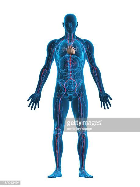 human heart and vascular system - three dimensional stock pictures, royalty-free photos & images