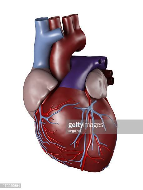 human heart for medical study - human heart stock pictures, royalty-free photos & images