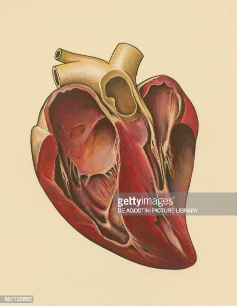 Human heart section drawing