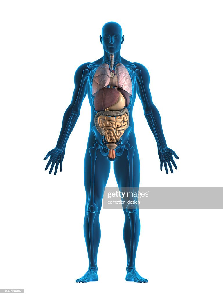 Human internal organs : Stock Photo