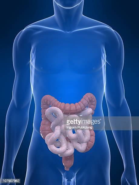 human intestines and colon - human intestine stock photos and pictures