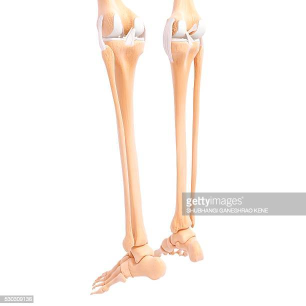 human leg bones, computer artwork. - foot bone stock pictures, royalty-free photos & images