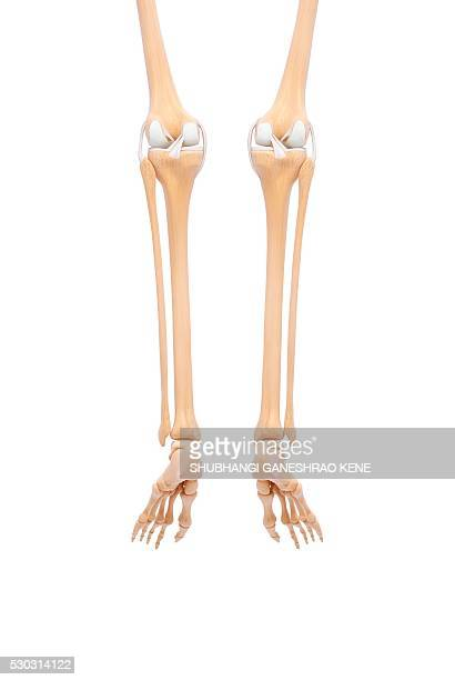 Leg Bone Stock Photos And Pictures Getty Images