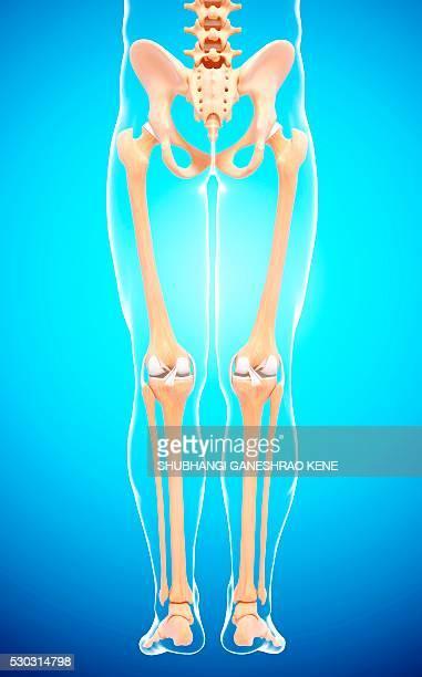 human leg bones, computer artwork. - femur fotografías e imágenes de stock