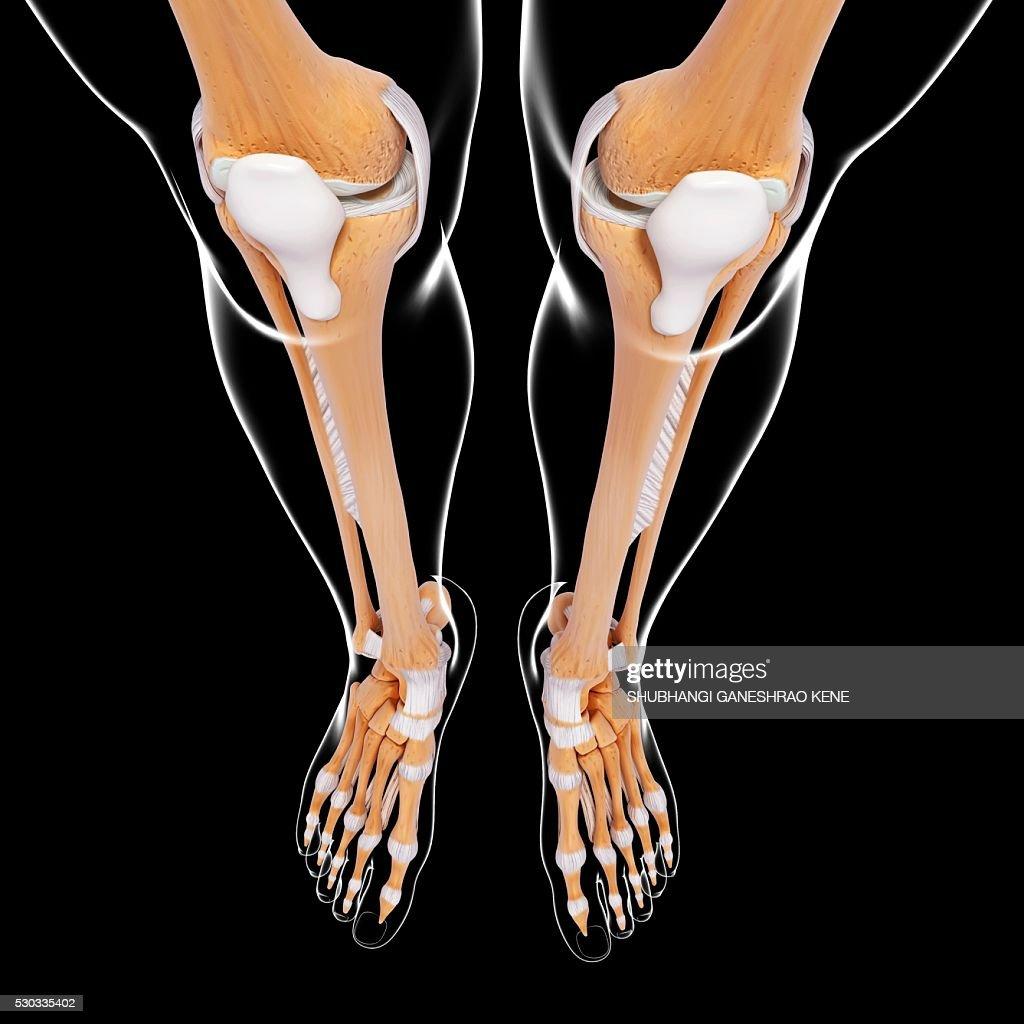 Human Leg Bones Computer Artwork Stock Photo Getty Images