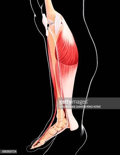 human leg musculature, computer artwork. - achilles tendon stock pictures, royalty-free photos & images