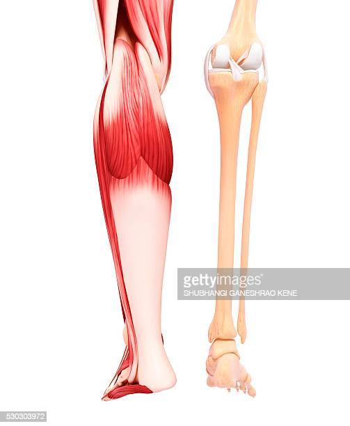 human leg musculature, computer artwork. - gastrocnemius stock pictures, royalty-free photos & images