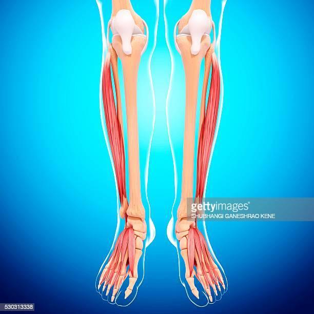 human leg musculature, computer artwork. - fibularis longus muscle stock pictures, royalty-free photos & images