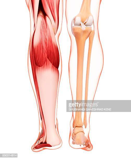 Fibularis Longus Muscle Stock Photos and Pictures | Getty Images