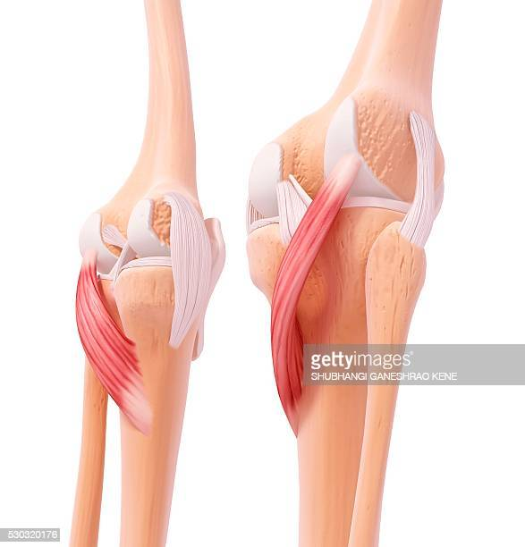 human leg musculature, computer artwork. - 靭帯 ストックフォトと画像