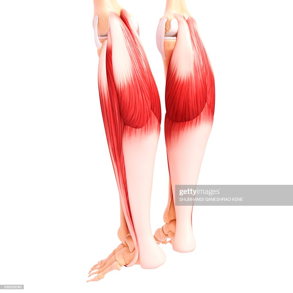 Human leg musculature, computer artwork. : Stock Photo