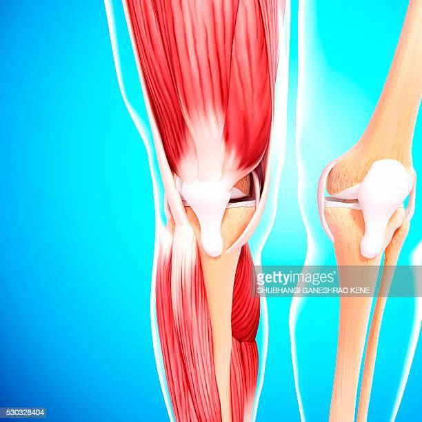 human leg musculature, computer artwork. - tibialis anterior muscle stock pictures, royalty-free photos & images