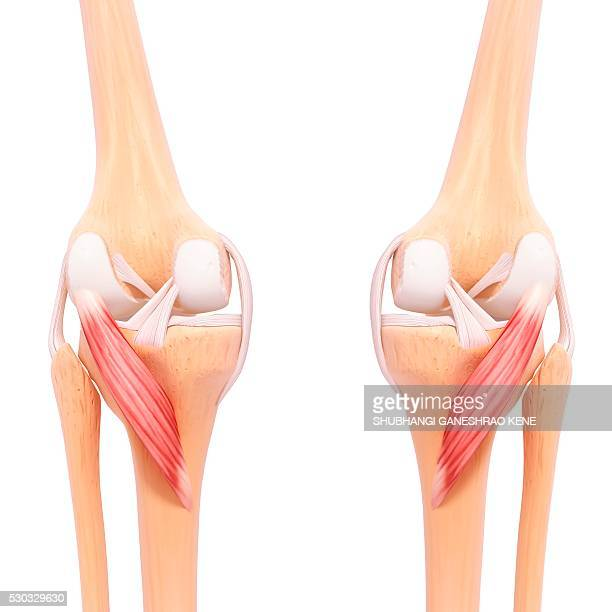 Human leg musculature, computer artwork.