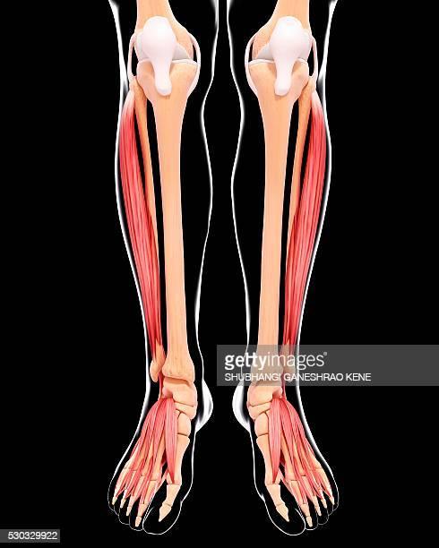 human leg musculature, computer artwork. - fibularis longus muscle stock photos and pictures