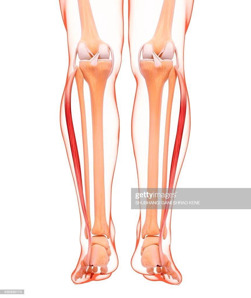 Human leg musculature, computer artwork. : Stock Photo