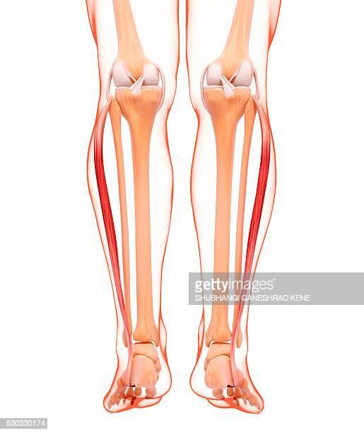 human leg musculature, computer artwork. - fibula stock photos and pictures