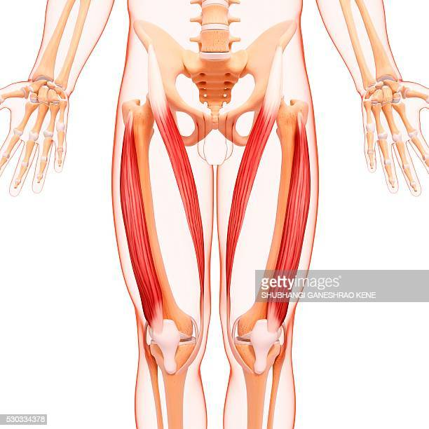 human leg musculature, computer artwork. - vastus lateralis stock pictures, royalty-free photos & images