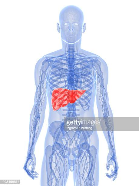 human liver - human liver stock photos and pictures