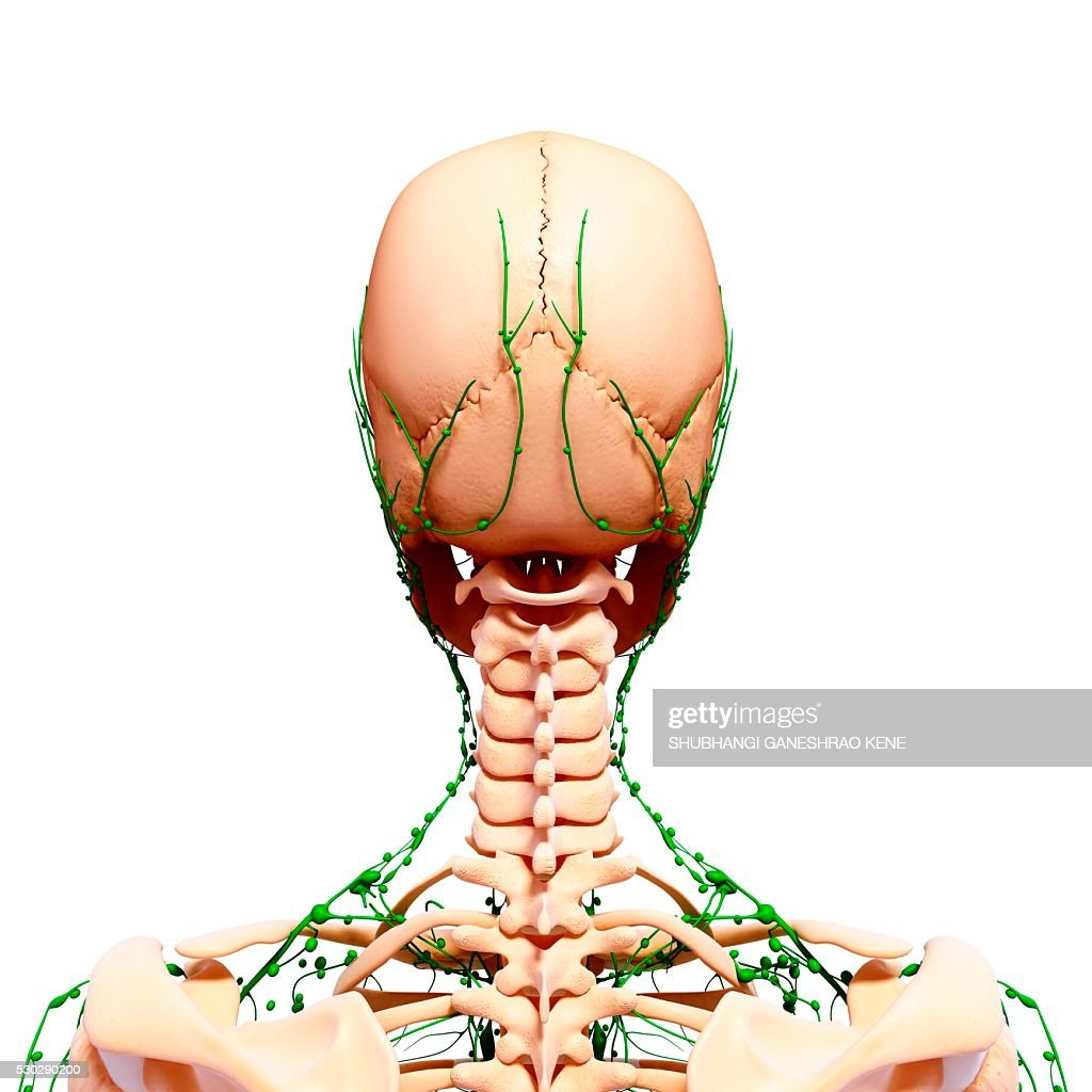 Human Lymphatic System Computer Artwork Stock Photo Getty Images