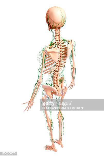 Human lymphatic system, computer artwork.